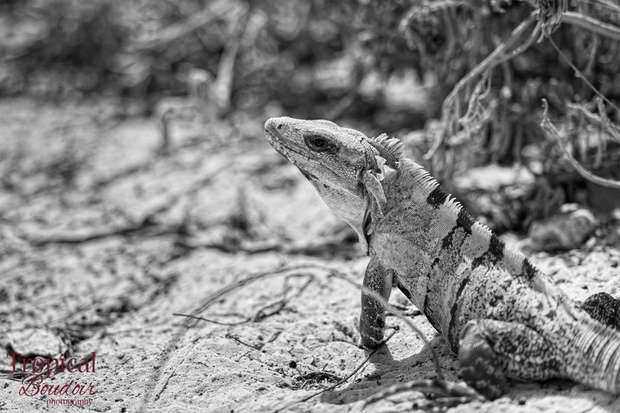 iguana in black and white